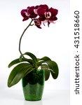 orchid flower   Shutterstock . vector #431518660