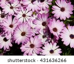 Pink Flower Of Cape Daisy Plant
