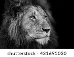 Portrait Of A Big Lion From...