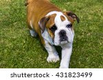british bulldog walking towards ... | Shutterstock . vector #431823499