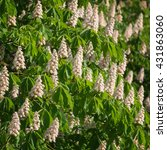 Small photo of Flowering branches of chestnut (Aesculus hippocastanum) on the background of green leaves