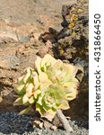 Small photo of Aeonium, typical of the Canary Islands floor. Rosette with perfect symmetry.