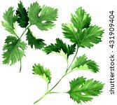 fresh parsley herb leaves... | Shutterstock . vector #431909404