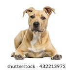 Stock photo american staffordshire terrier puppy lying down isolated on white 432213973