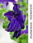 Beautiful Violet Petunia...