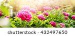 Peonies Fuchsia Colour Summer...