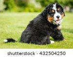 Stock photo playful bernese mountain dog 432504250