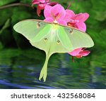 Small photo of A beautiful Luna Moth (Actias luna) at pink orchids in a water garden.
