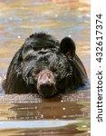Small photo of American black bear (Ursus americanus) swimming in the water