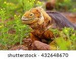 Galapagos Land Iguana ...