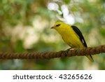 Golden Oriole on the rope - stock photo