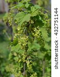 Small photo of Ribes rubrum. Red currant bush. Flowers red currant. Red currant in spring