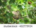 Collared Dove  Streptopelia...