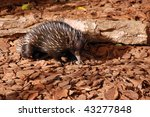 Echidna on brown background in Australia - stock photo