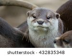 Otter  Lutra Lutra  And Her...