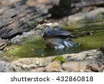 Small photo of Besra (Accipiter virgatus), a bird of prey, is bathing in the forest of Thailand.