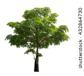 Small photo of Isolated Alstonia scholaris tree on white background