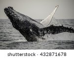 close up view of a humpback...   Shutterstock . vector #432871678