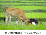 cow graze in field with white... | Shutterstock . vector #432879334