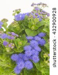 Small photo of Ageratum houstonianum Artist Basso Purple