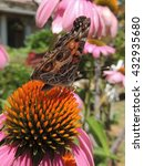 Small photo of American Lady Butterfly perched on an Echinacea flower or cone flower