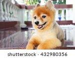 happy pomeranian | Shutterstock . vector #432980356