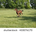 A Young Brown Foal Gallops On A ...