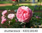 Stock photo pink roses in the garden 433118140