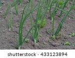 Small photo of Green onions. Allium cepa