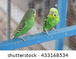 Two Green Yellow Budgerigars...