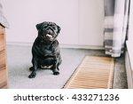 breathless tiny black pug dog... | Shutterstock . vector #433271236