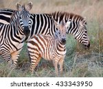 Stock photo photos of zebra with foal grazing on the african savannah and looking at the photographer filmed 433343950
