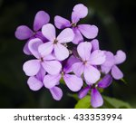 Small photo of Hoary Stock, Matthiola incana, flowers, close-up, selective focus, shallow DOF
