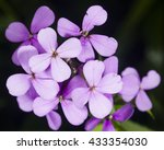 Small photo of Hoary Stock, Matthiola incana, flowers, close-up, selective focus, shallow DOF