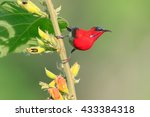 beautiful crimson sunbird in... | Shutterstock . vector #433384318