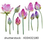 Water Lily Buds Or Lotus Flowe...