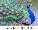 Beautiful Color Peacock