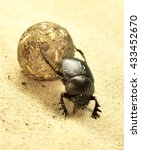 Small photo of Scarab beetle or scarabaeus with ball. Ball-roller or dung beetle on a sand dune. Desert animal, close-up.