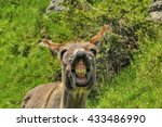 Laughing Donkey. Front Portrai...