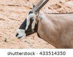 Close Up Blackbuck