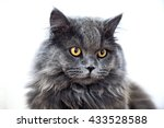 Cute Long Haired Grey Cat With...