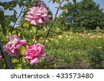 Stock photo the beautiful roses in queen marys gardens in regents park london 433573480