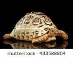 Leopard Tortoise Albino...