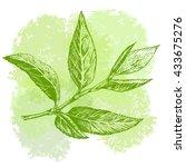 green tea leaf hand drawing... | Shutterstock .eps vector #433675276