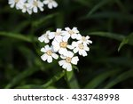 Small photo of Flowers of a sneezewort or European pellitory (Achillea ptarmica)
