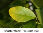 leaf of feijoa tree with... | Shutterstock . vector #433805653