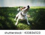 Stock photo small dog breed jack russell terrier shakes off water after bathing in the river on a summer day 433836523