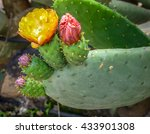 Blooming Prickly Pear With...