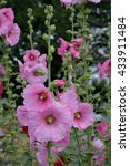 Small photo of Hollyhock (Althaea rosea) flowers