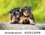 Two Little Yorkshire Terrier...